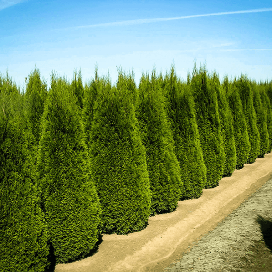 Buy emerald green thuja arborvitae online the tree center - Thuja smaragd growth rate ...