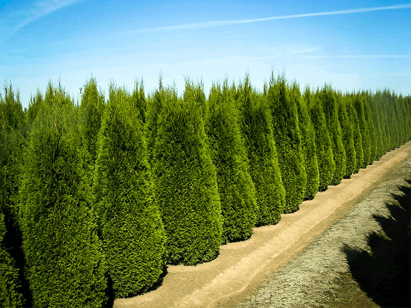 Privacy Trees, Row of Emerald Green Thuja Trees