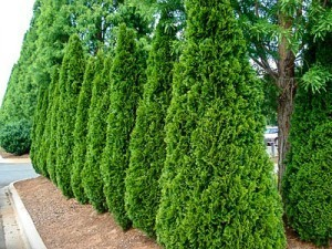 Trees And Bushes For Privacy
