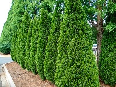 Best Privacy Trees For Your Backyard The Tree Center