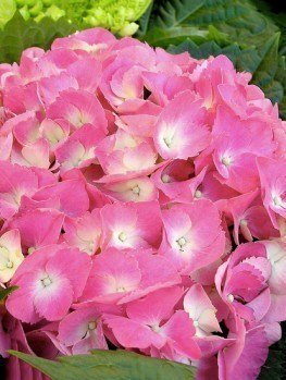 fire and ice hydrangea for sale online the tree center