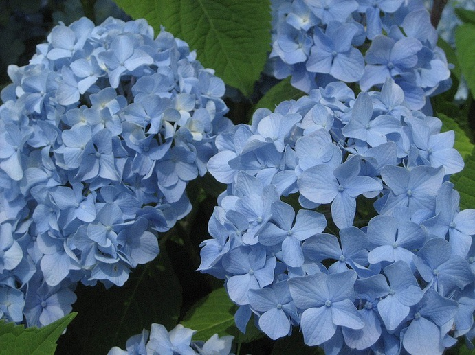 Endless Summer Hydrangea For Sale Online The Tree Center