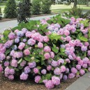 Fully grown Endless Summer Hydrangea