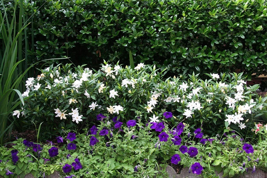 Frost Proof Gardenia Hedge Accent