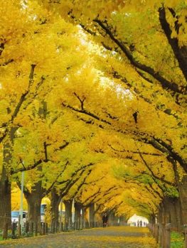 Autumn Gold Ginkgo Tree