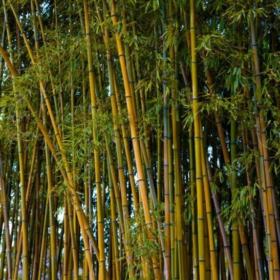 Golden Bamboo The Tree Center
