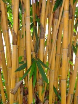 Golden Bamboo