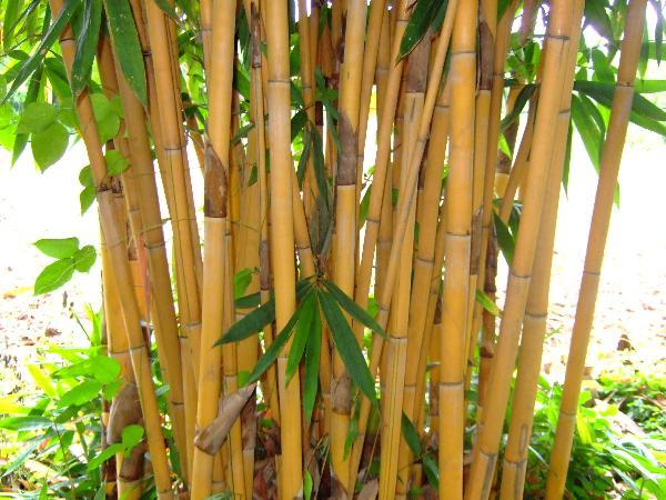 golden bamboo for sale online the tree center. Black Bedroom Furniture Sets. Home Design Ideas