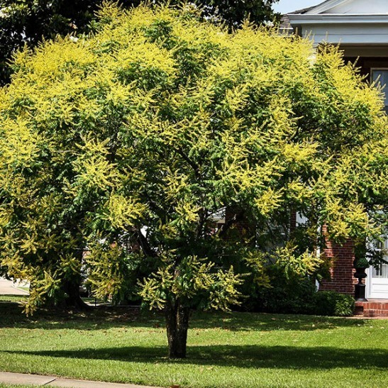 Golden Raintree For Sale Online The Tree Center