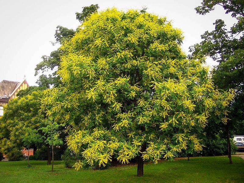 mature golden raintree