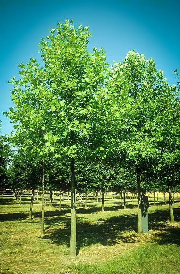 Hybrid Poplar For Sale Online The Tree Center