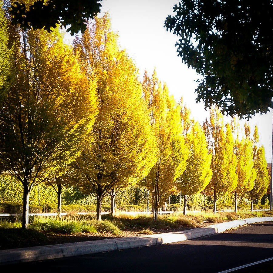 Hybrid Poplar Trees Fall