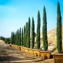 Potted Italian Cypress Trees