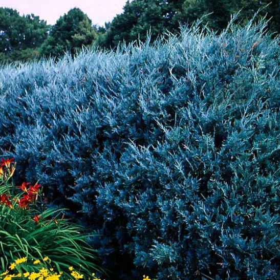 Buy Juniper Wichita Blue Trees Online The Tree Center
