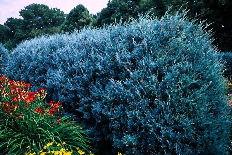 Wichita Blue Juniper Tree The Tree Center