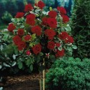 Mature Knockout Rose Tree