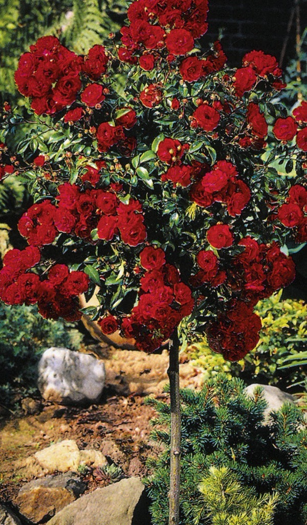 Knockout Rose Tree The Tree Center