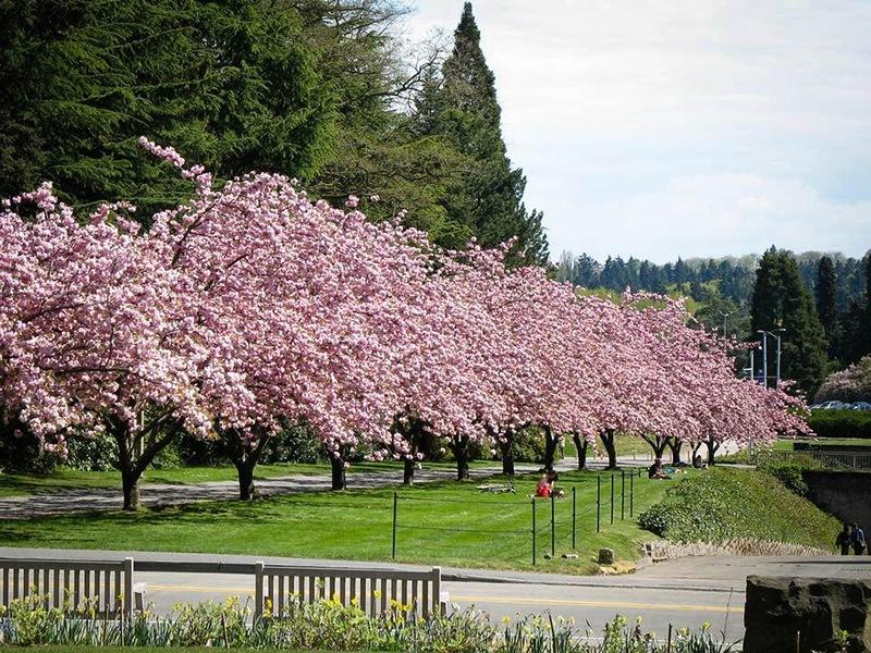 Kwanzan Cherry The Tree Center