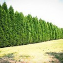 Row Of Leyland Cypress Trees
