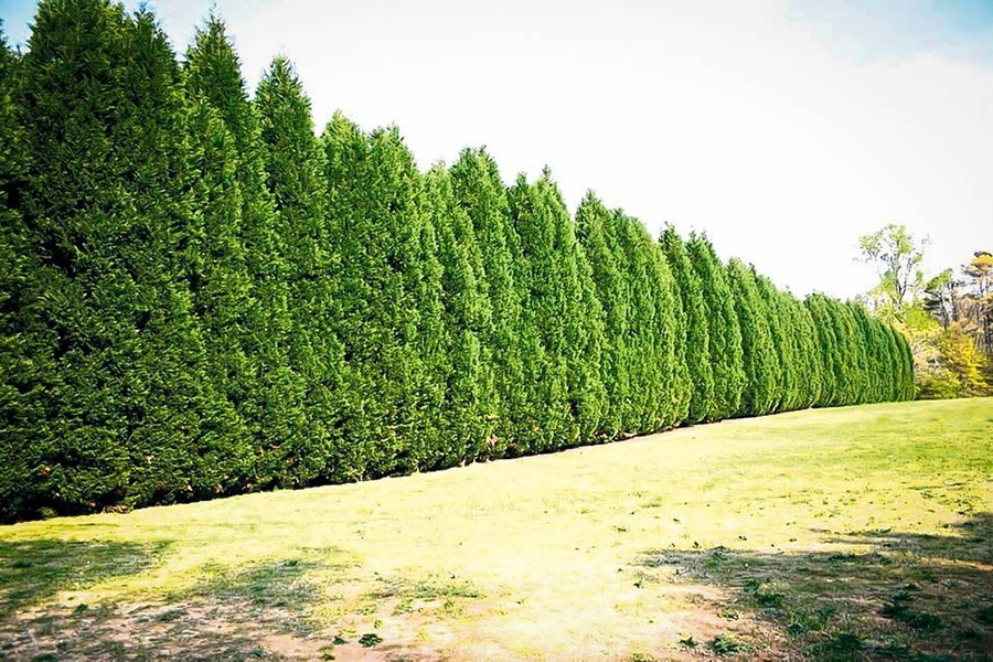 Leyland Cypress Trees For Sale The Tree Center