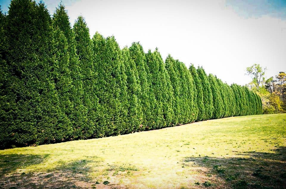 leyland cypress the best privacy tree the tree center. Black Bedroom Furniture Sets. Home Design Ideas