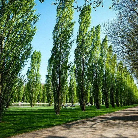 Lombardy Poplar For Sale Online The Tree Center