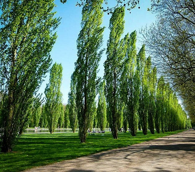 Lombardy poplar for sale online the tree center for Popular small trees