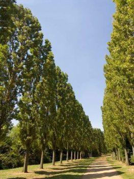 Lombardy Poplar