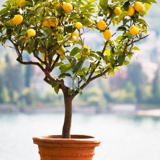Meyer Lemon Tree For Sale Online The Tree Center