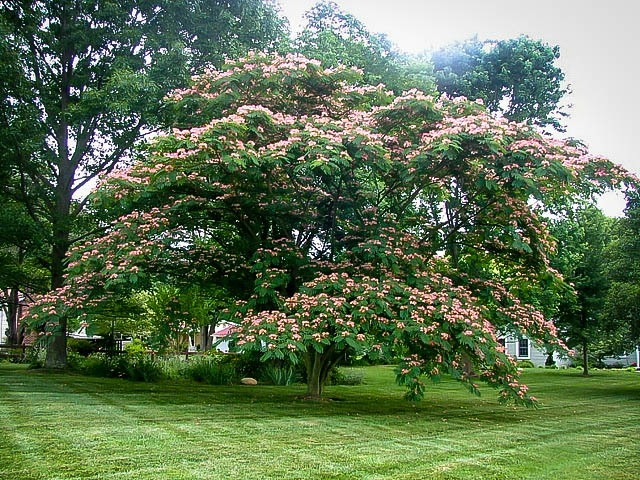 Mimosa Tree In Full Bloom