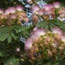 Mimosa Tree Flowers in Bloom