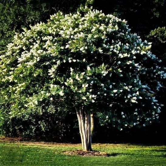 Tree For Shade Garden