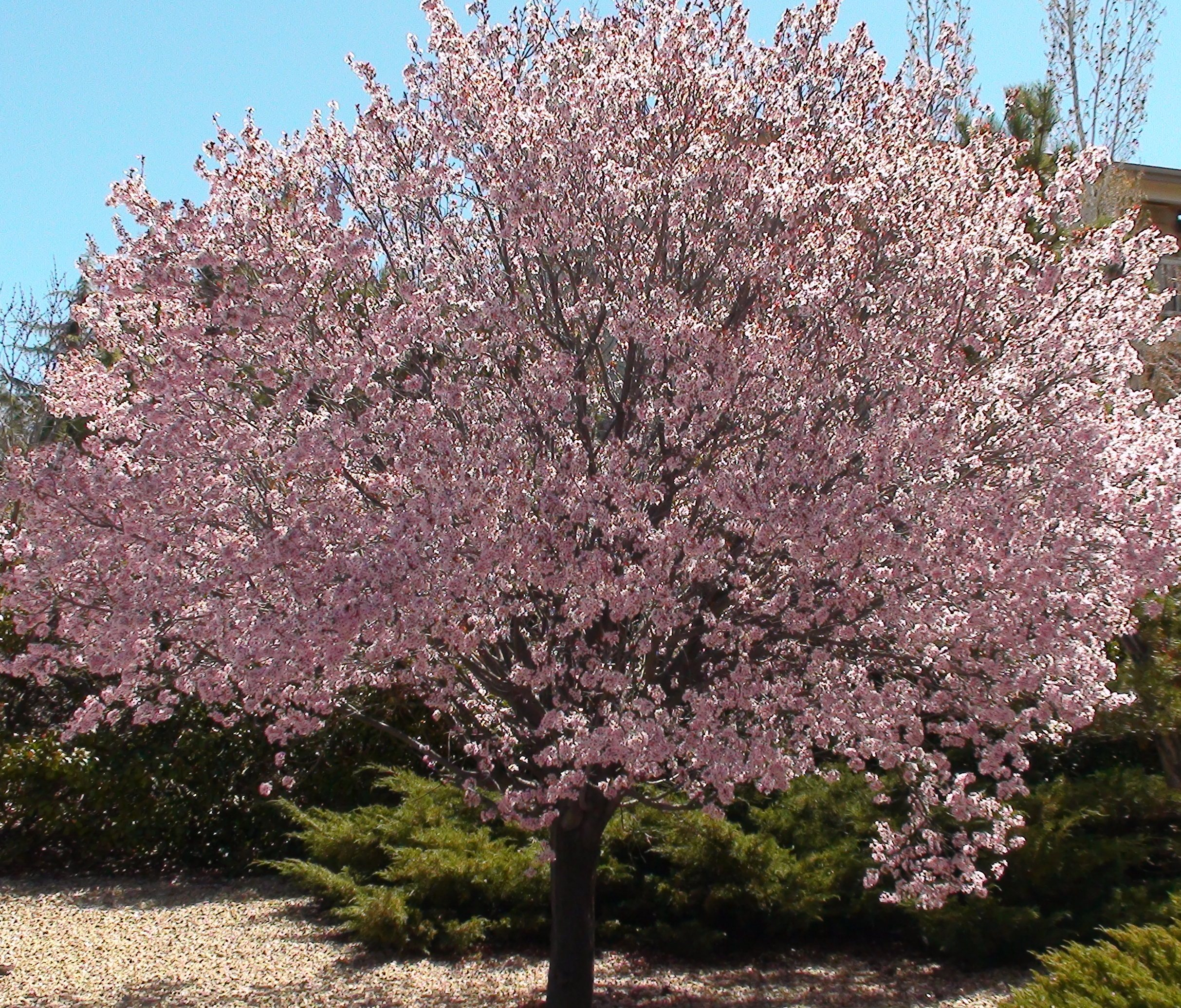 Newport Flowering Plum For Sale Online | The Tree Center