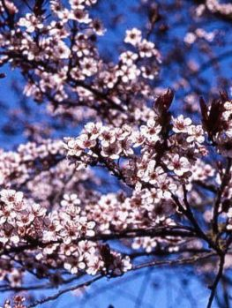 Newport Flowering Plum