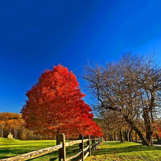 October Glory Maple The Tree Center