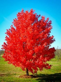 October Glory Maple