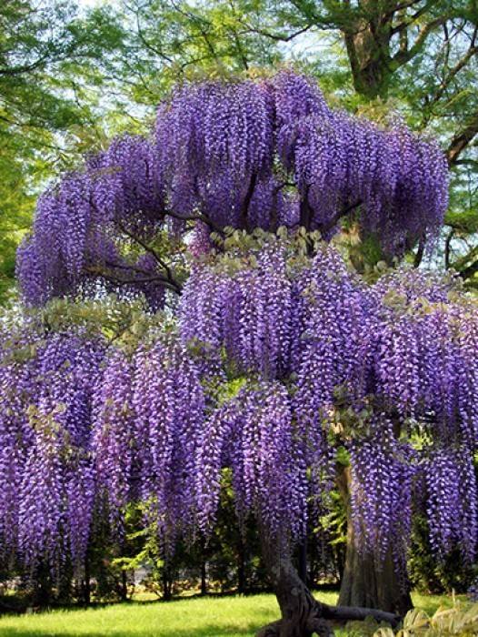 Buy wisteria vines online the tree center for The wisteria