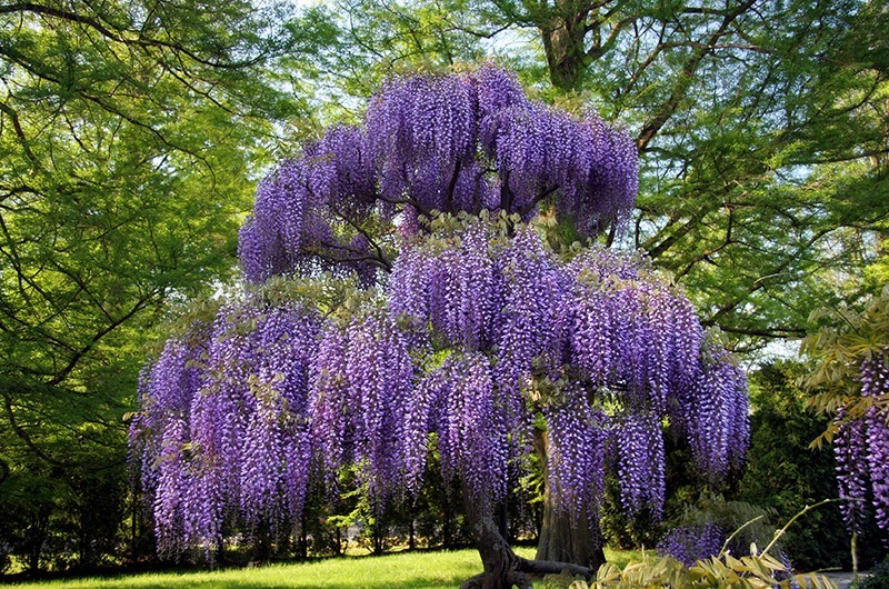 Gorgeous Purple Wisteria Tree