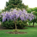 A Young Purple Wisteria Tree