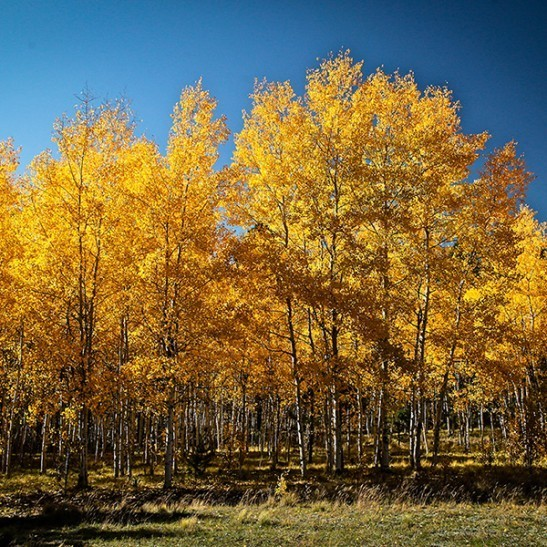 Quaking Aspen For Sale Online