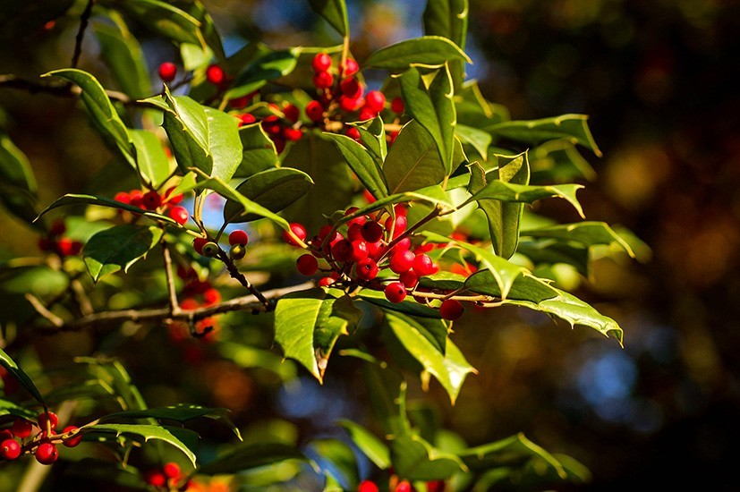 Red Holly For Sale Online The Tree Center