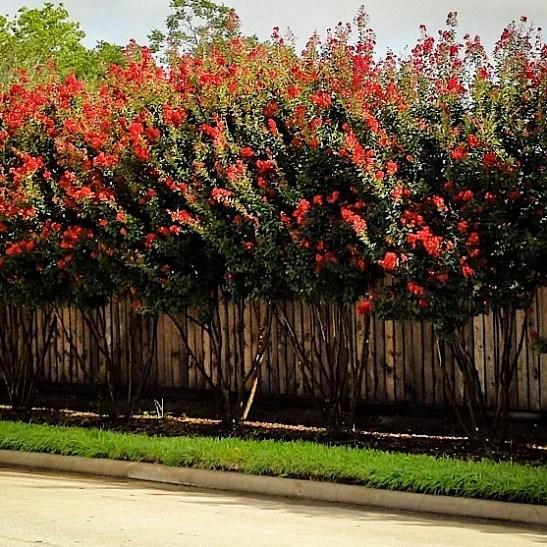 Red Crape Myrtle Bush