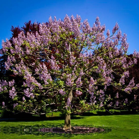 Royal Empress Trees For Sale Online The Tree Center