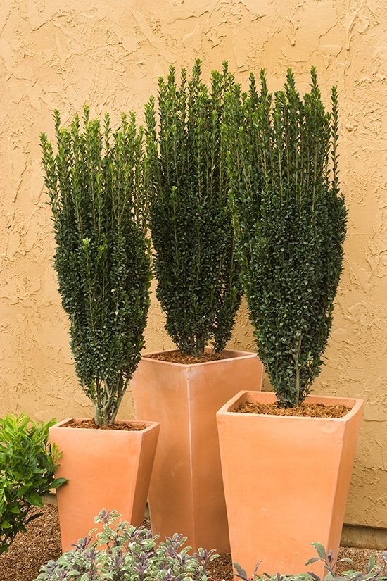 Sky pencil holly the tree center for Columnar evergreen trees for small gardens