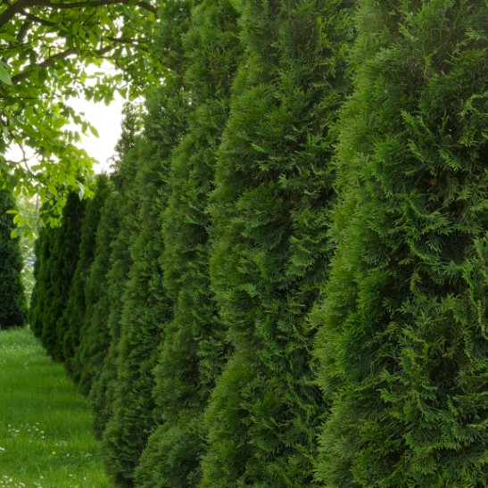 Buy thuja green giant trees online the tree center for Green giant arborvitae