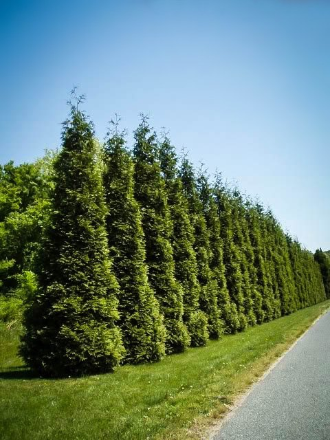Buy Thuja Green Giants Thuja Trees For Sale The Tree