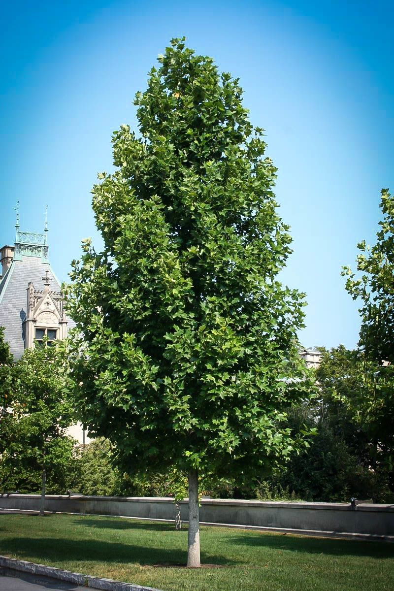 Trees Of Santa Cruz County Nyssa Sylvatica: Buy Tulip Poplar Trees Online