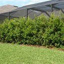 Row Of Young Wax Myrtles