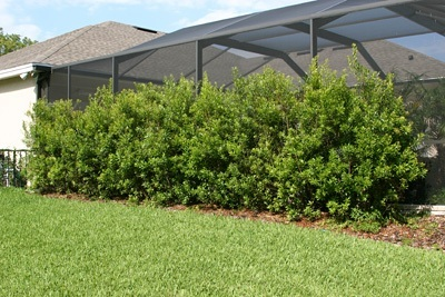 Buy Wax Myrtle Trees Online The Tree Center
