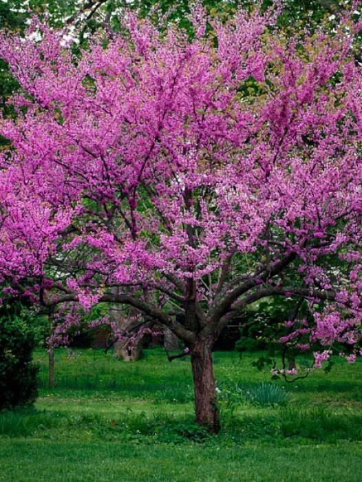 Buy Flowering Trees Online The Tree Center